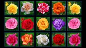 Digital Garden ROSES
