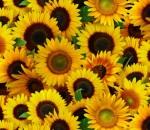 487-yellow