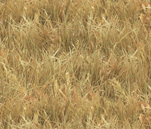 250 Wheat