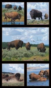 Where Buffaloes Roam
